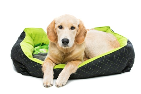 Young beautiul golden retriever dog lying on green puppy pillow. Isolated over white background. Copy space. Stock Photo