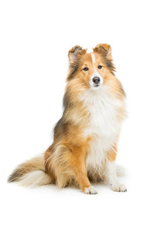 Beautiful brown sheltie dog isolated over white background. Copy space. Stock Photo