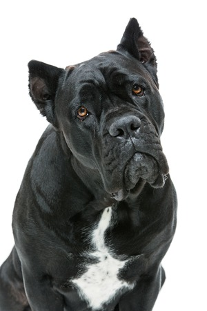 cane corso: Beautiful cane corso dog sitting. Isolated over white background. Copy space Stock Photo