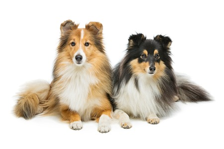 Two beautiful sheltie dogs isolated over white background. Copy space.