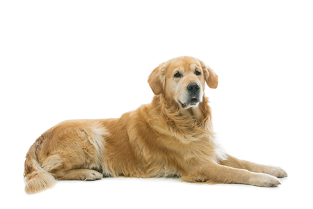 Old beautiul golden retriever dog lying. Isolated over white background. Copy space.