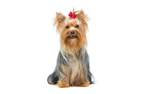 빨간 활 앉아와 아름 다운 yorkshire 테리어 강아지. 흰색 배경 위에 격리.