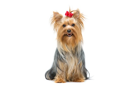 yorkie: Beautiful yorkshire terrier dog with red bow sitting. Isolated over white background. Stock Photo