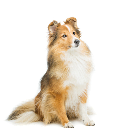 Beautiful brown sheltie dog isolated over white background. Copy space. Square composition.
