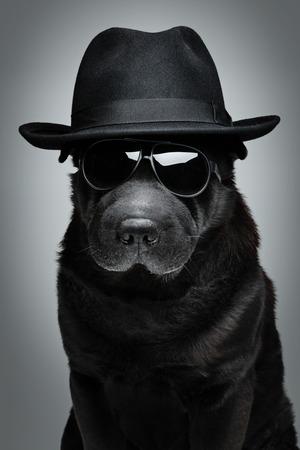 sharpei: Beautiful black shar pei dog in hat and sunglasses.