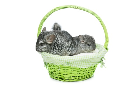 bennett: Chinchilla mother with baby sitting in green basket isolated over white background. Copy space.