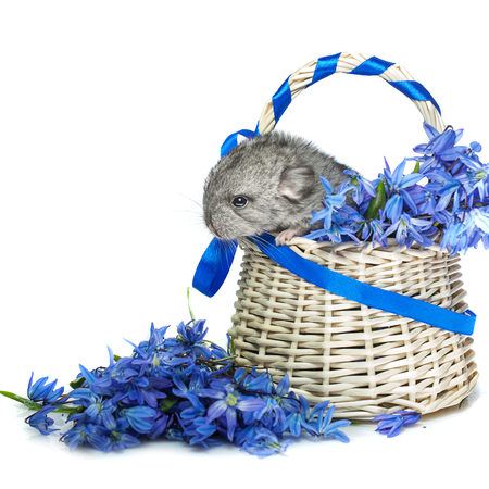 evaluable: Chinchilla baby sitting in basket with blue flowers isolated over white background. Copy space. Stock Photo