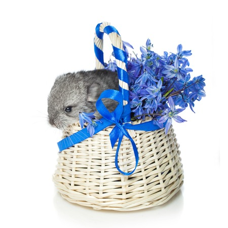 Chinchilla baby sitting in basket with blue flowers isolated over white background. Copy space. Stock Photo