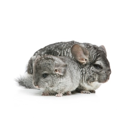 Chinchilla mother with baby sitting isolated over white background. Copy space.