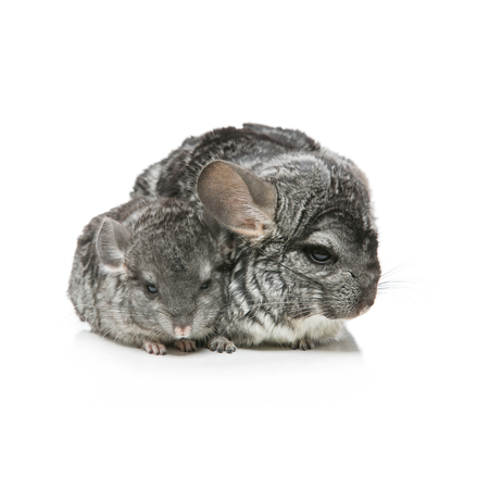 Chinchilla mother with baby sitting isolated over white background. Copy space. Square composition. Stock Photo