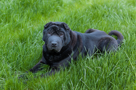 sharpei: Beautiful old balck shar pei dog on grass. Copy space. Outdoor shot.