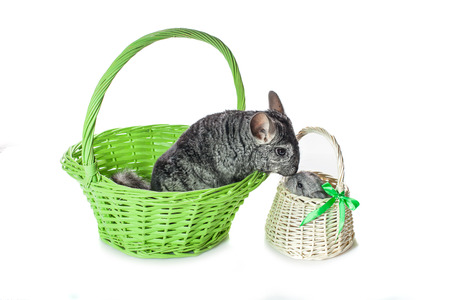 evaluable: Chinchilla mother kissing baby sitting in baskets isolated over white background. Copy space.
