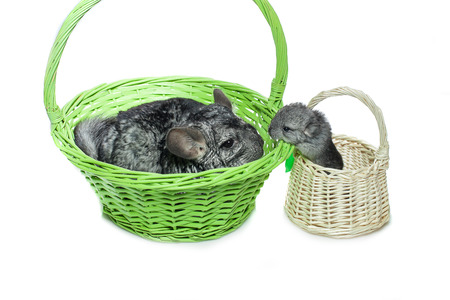 Chinchilla mother with baby sitting in baskets isolated over white background. Copy space. Stock Photo