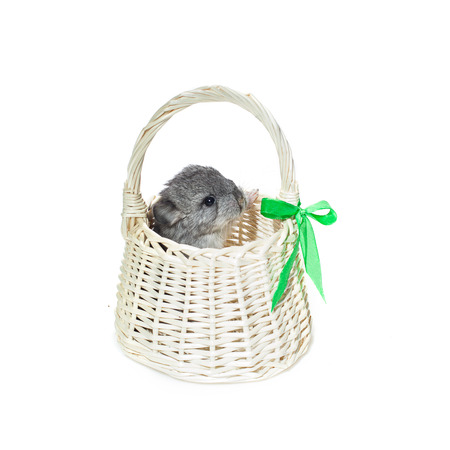 evaluable: Chinchilla baby sitting in basket isolated over white background. Copy space.