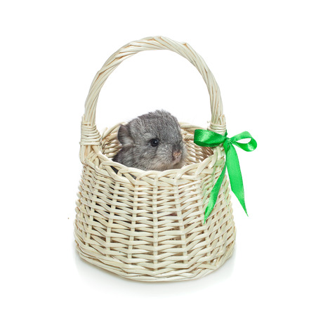 Chinchilla baby sitting in basket isolated over white background. Copy space.