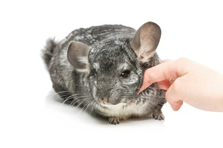 Cute adult chinchilla with human hand caressing it isolated over white background. Copy space. Banco de Imagens