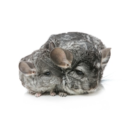 evaluable: Chinchilla mother with baby sitting isolated over white background. Copy space.
