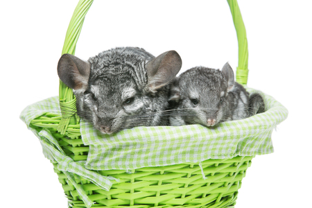 evaluable: Chinchilla mother with baby sitting in green basket isolated over white background. Copy space.