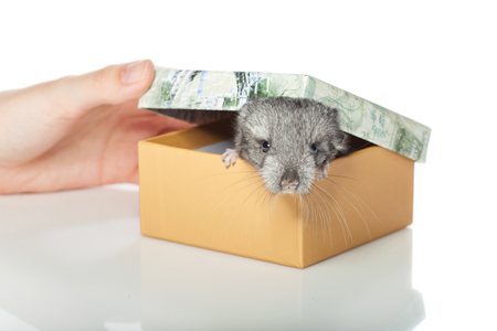 bennett: Chinchilla baby sitting in box isolated over white background. Copy space.
