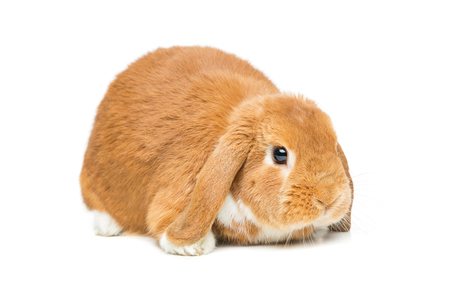 lop eared: Adorable red domestic lop-eared rabbit isolated over white background. Copy space.
