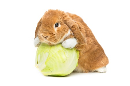 lop eared: Adorable red domestic lop-eared rabbit with carrot and cabbage isolated over white background. Copy space.