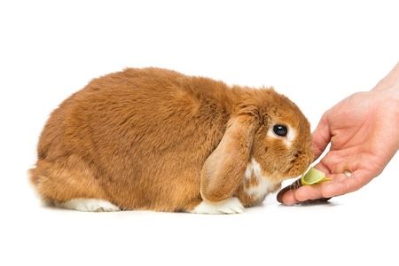 lop eared: Adorable red domestic lop-eared rabbit eating cabbage from human hand isolated over white background. Copy space.