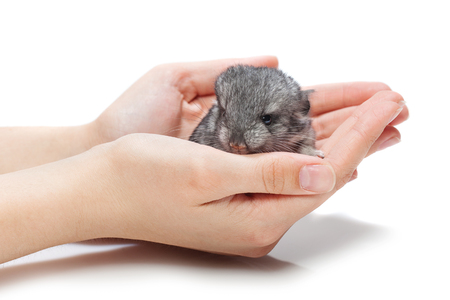 studioshot: Cute baby chinchilla sitting on girl hands. Studio shot. Copy space. Isolated over white background.