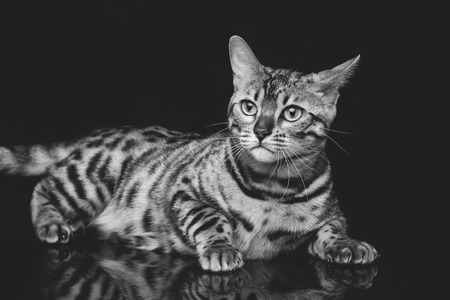 Portrait of beautiful bengal cat staring at something. Studio shot over black background. Copy space. Monochrome.