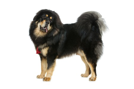 eye protectors: Portrait of big beautiful Tibetan mastiff dog standing over white background. Isolated. Copy space.