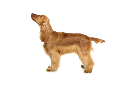 cocker: Portrait of beautiful young brown cocker spaniel dog standing and looking up over white background. Studio shot. Copy space.