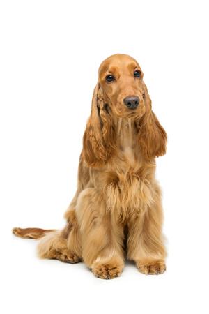 흰색 배경 위에 앉아 아름 다운 젊은 갈색 좋 소 발 바리 강아지의 초상화. 스튜디오 촬영. 공간을 복사합니다. 스톡 콘텐츠