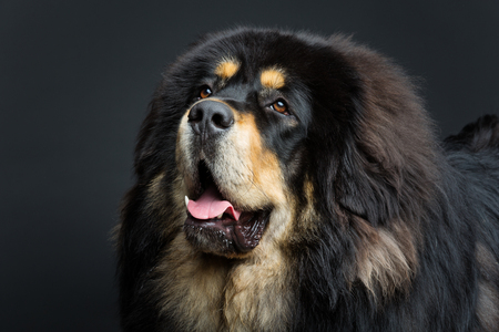 Closeup portrait of big beautiful Tibetan mastiff dog over black background. Copy space.