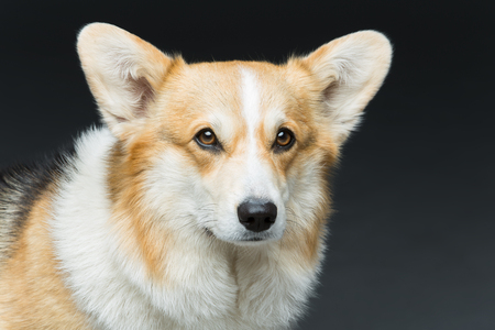 razas de personas: Beautiful welsh pembroke corgi dog over black background. Close up portrait. Copy space.