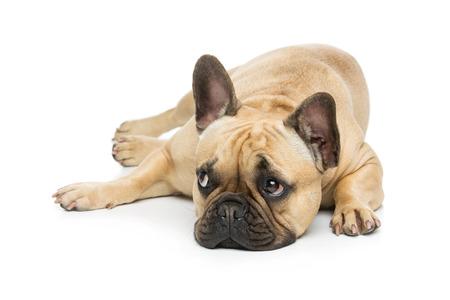 Portret van mooie jonge Franse buldog meisje hond liggen. Geïsoleerde over witte achtergrond. Studio-opname. Kopieer ruimte.