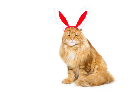 Big adorable ginger maine coon cat in christmas rabbit ears head rim. Isolated on white background. Copy space. Stock Photo