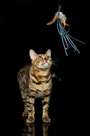 Portrait of beautiful bengal cat staring at toy. Studio shot over black background. Copy space. Stock Photo
