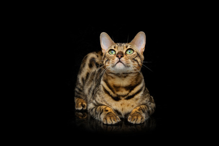 Portrait of beautiful bengal cat staring at something. Studio shot over black background. Copy space. Stock Photo