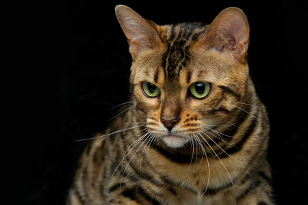 Portrait of beautiful bengal cat staring at something. Closeup. Studio shot over black background. Copy space.