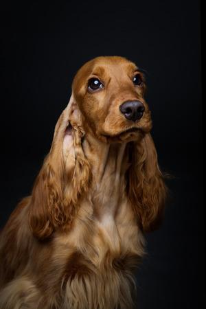 Portrait of beautiful young brown English cocker spaniel dog over black background. Closeup studio shot. Copy space.