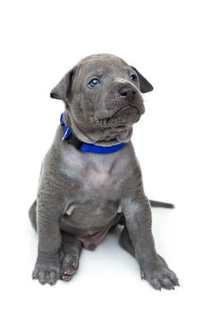 One month old thai ridgeback puppy dog in blue collar sitting. Isolated on white. Copy space. Stock Photo