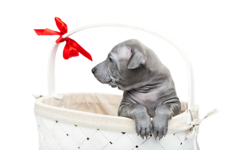 One month old thai ridgeback puppy dog sitting in wicker basket with red bow. Isolated on white. Copy space.