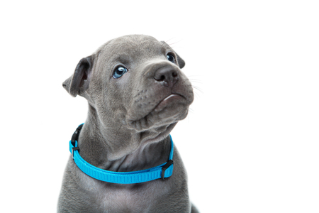 One month old thai ridgeback puppy dog in blue collar sitting. Close-up portrait isolated on white. Copy space.