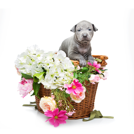 Thai ridgeback puppy in basket isolated on white Stock Photo