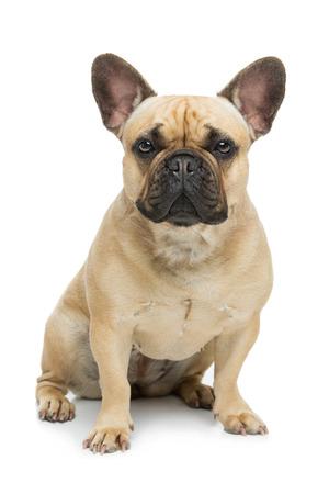 Beau chien de bouledogue français Banque d'images - 71732215