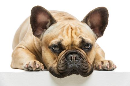 cutouts: Beautiful french bulldog dog