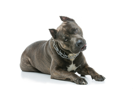 Beautiful american staffordshire terrier dog. Tiger blue color male pet. Isolated on white background. Stock Photo