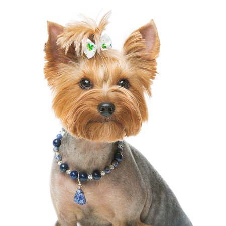 Beautiful yorkshire terrier with necklace Stock Photo - 74638318