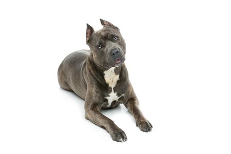 Beautiful amstaff dog