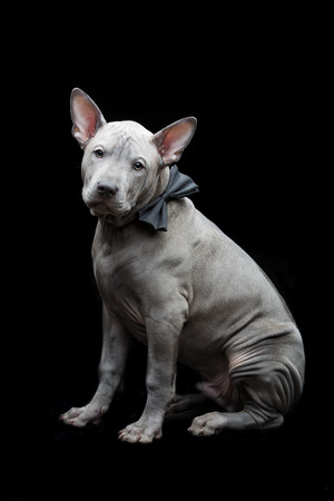 Thai ridgeback puppy Stock Photo