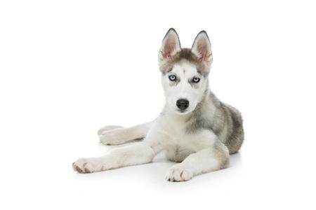 desirable: Cute husky puppy dog